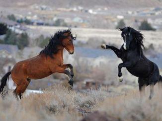 636367759139163564-Wild-Horses